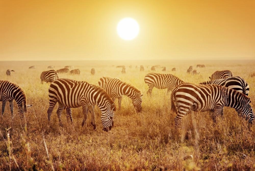 Afrika: Zebras