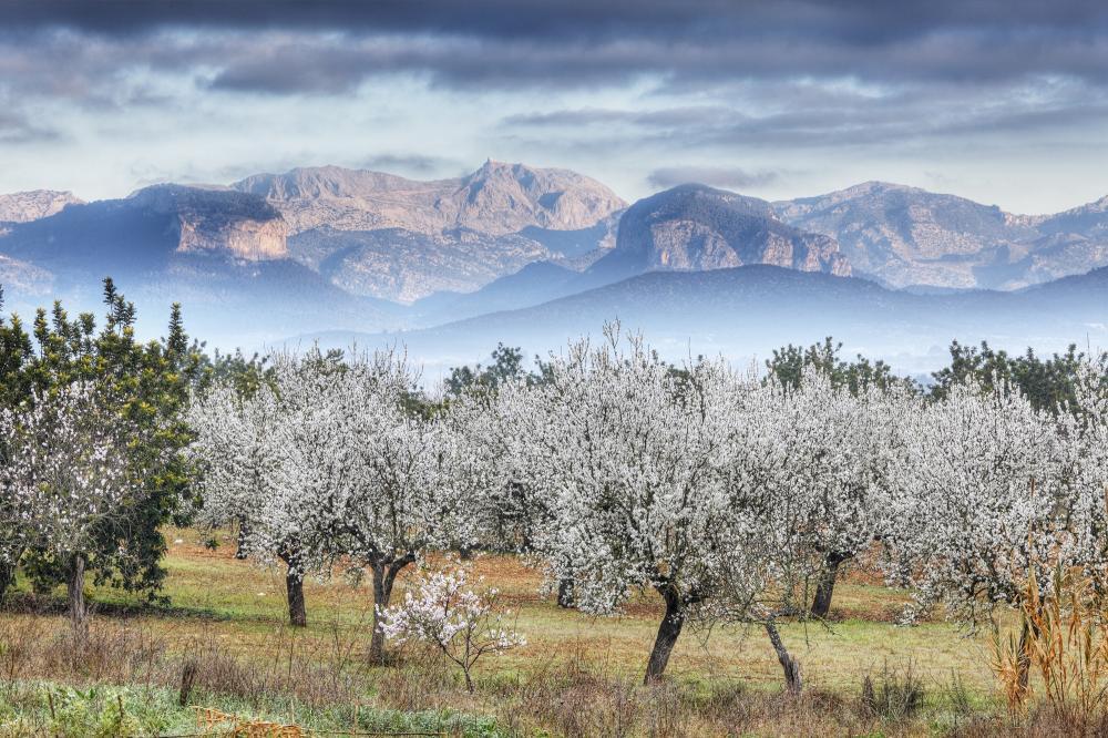 Spanien: Mallorca - Mandelblüte